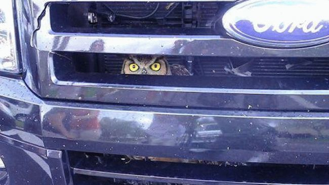 Owl Stuck in Truck Grill - Keeping an Eye on Mileage